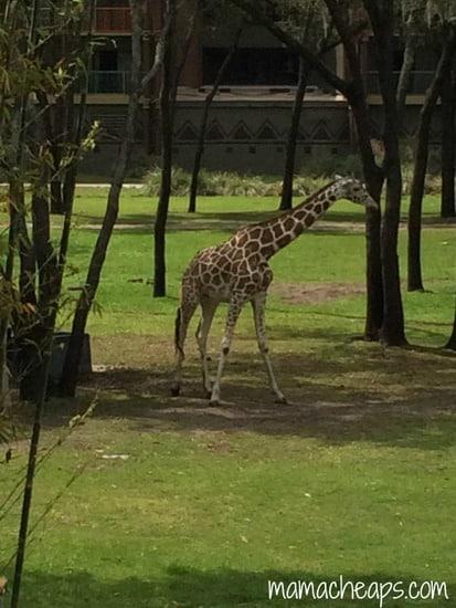disney world animal kingdom lodge kidani village savanna view giraffe