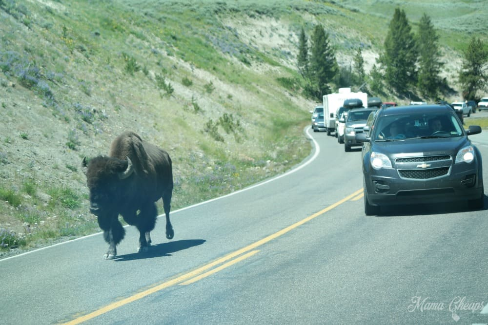Biston in Road Yellowstone