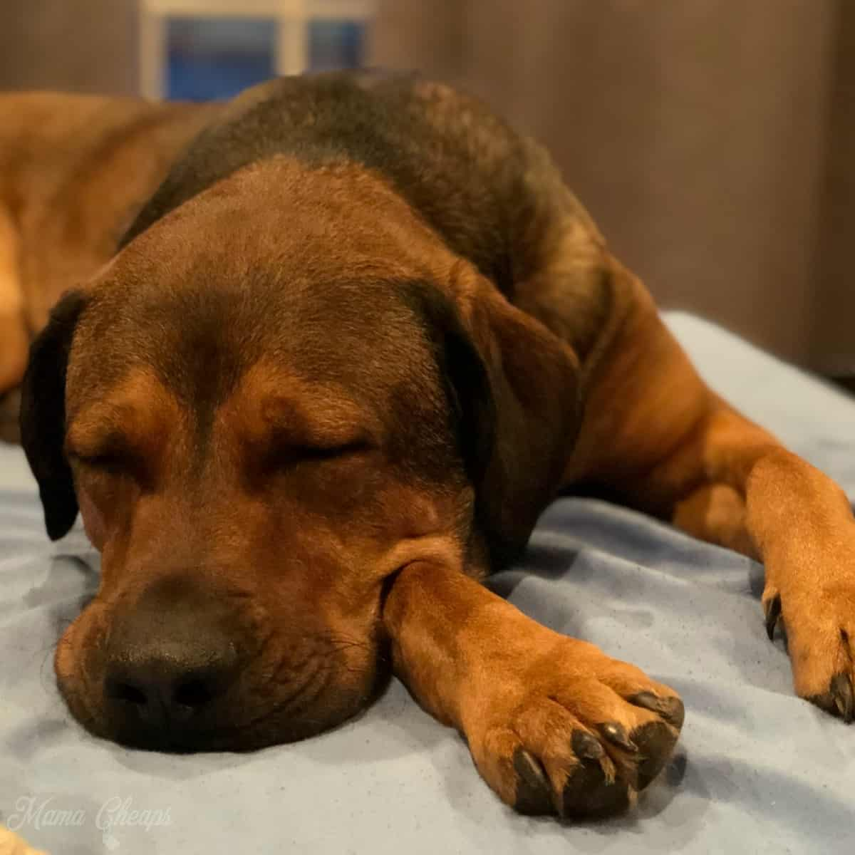 shelter foster dog